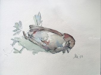 House Finch  (Haemorhous<br>mexicanus), Paintings, Fine Art, Anatomy, Watercolor, By Marc Clamage