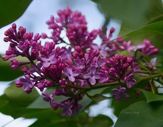 Lilac Buds, Photography, Photorealism, Floral, Photography: Metal Print,Photography: Photographic Print,Photography: Premium Print,Photography: Stretched Canvas Print, By Tracey Vivar