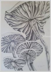 Mushrooms, Drawings / Sketch, Realism, Botanical, Pencil, By Megan Coetzee