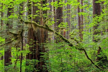 Northwest Forest, Photography, Fine Art,Photorealism, Landscape,Nature, Photography: Premium Print, By Mike DeCesare