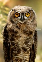 Owl, Photography, Photorealism, Animals, Photography: Premium Print, By Mike DeCesare