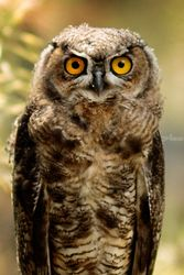 Owl, Photography, Fine Art,Photorealism, Animals,Wildlife, Photography: Premium Print, By Mike DeCesare