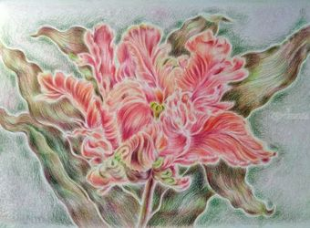 Parrot Tulip, Drawings / Sketch, Fine Art, Botanical,Floral, Pencil, By Tetyana K