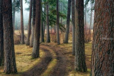 Pine Forest Trail, Photography, Fine Art,Photorealism, Landscape,Nature, Photography: Premium Print, By Mike DeCesare