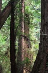 Redwoods, Photography, Photorealism, Landscape, Photography: Photographic Print, By Mike DeCesare