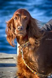 Setter dog on the pier, Digital Art / Computer Art,Photography, Photorealism, Animals,Portrait, Digital, By Giuseppe Esposito