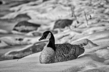 Sitting In Snow BW, Photography, Fine Art, Wildlife, Photography: Premium Print, By Jim Stewart