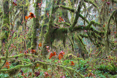 Temperate Rain Forest, Photography, Photorealism, Landscape, Photography: Premium Print, By Mike DeCesare
