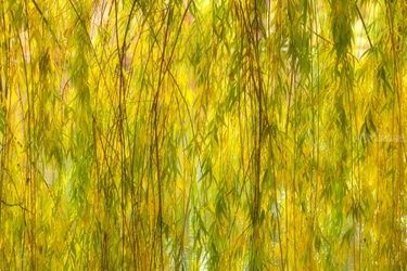 Weeping Willow, Photography, Fine Art, Botanical,Floral,Nature, Photography: Premium Print, By Mike DeCesare