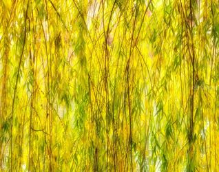 Willow, Photography, Photorealism, Botanical,Floral,Landscape, Photography: Premium Print, By Mike DeCesare