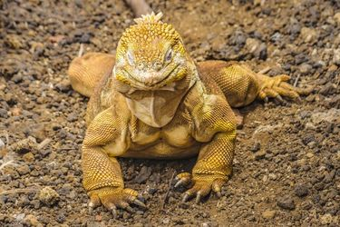 Yellow Iguana, Galapagos<br>Island, Ecuador, Photography, Realism, Animals, Photography: Photographic Print, By Daniel Ferreira Leites
