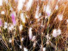 Closeup blooming pink grass flowers field abstract, Photography, Photorealism, Botanical, Floral, Nature, Digital, Photography: Photographic Print, By sutee monchitnukul
