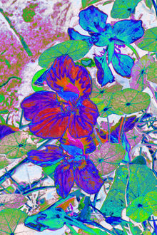 Nasturtium Flowers 3, Collage, Digital Art / Computer Art, Illustration, Paintings, Photography, Poster, Fine Art, Floral, Nature, Digital, Mixed, Photography: Photographic Print, By Cveti Dinkova