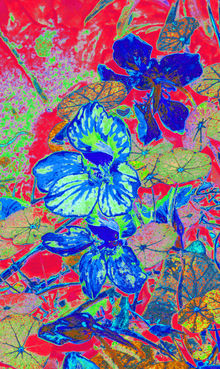 Nasturtium Flowers 6, Digital Art / Computer Art, Illustration, Paintings, Photography, Fauvism, Fine Art, Botanical, Floral, Nature, Mixed, Photography: Photographic Print, By Cveti Dinkova