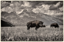 Delayed Bison Evolution Captured: Grand Teton National Park
